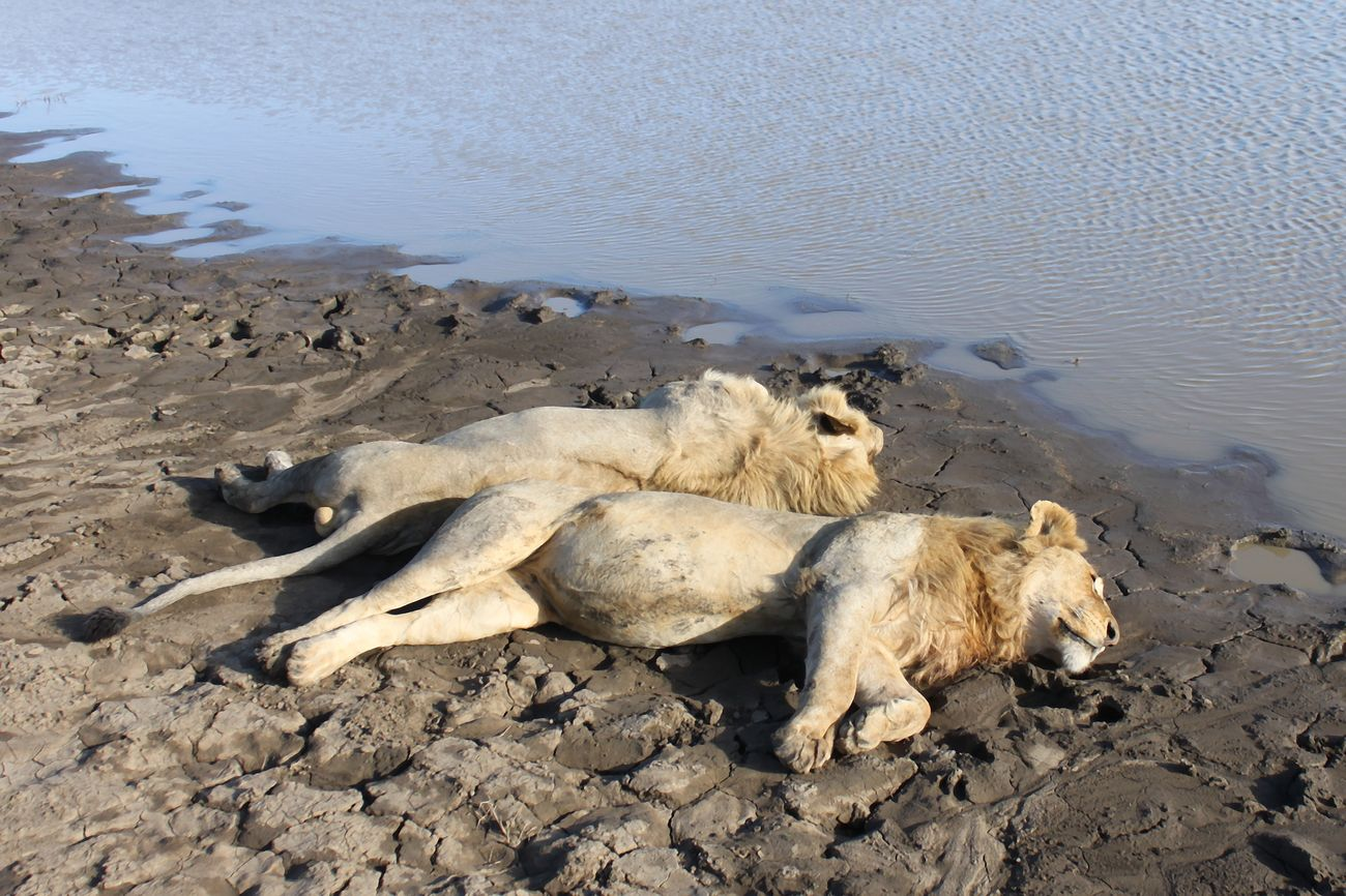 Lions Lion Taking Photos Full Lazy Full And Lazy Nature Photography Wildlife & Nature Waterhole Serengeti National Park Wilderness Animals In The Wild Animals East Africa Naturelovers Tanzania Nature_collection