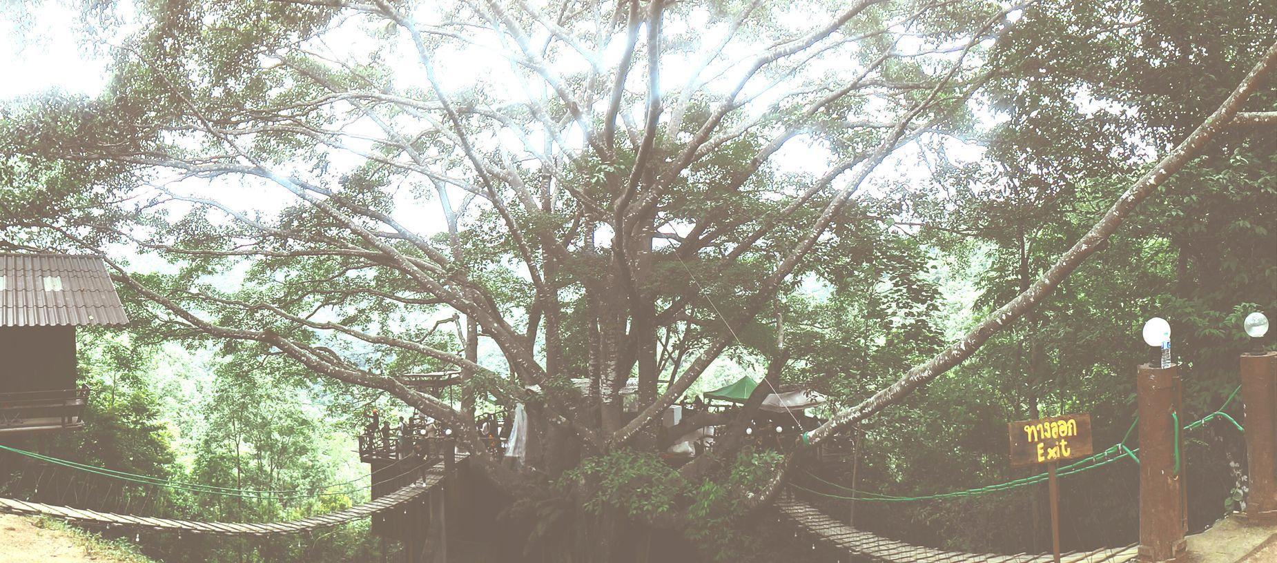 Tree Gianttree Chiang Mai | Thailand