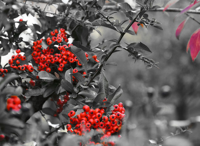 Red berries Beauty In Nature Berry Berry Fruit Focus On Foreground Growing Playing With ColoursGrowth Nature Plant Red Ripe Tree Twig Playing With Colors