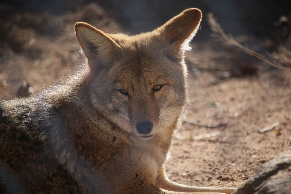 Coyote Jungle Animal Looking At You Mountain Animals Protected Habitat Safari Wild Animals Wild Life