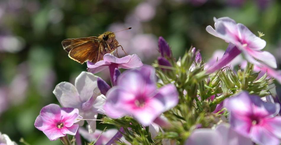Depth Of Field NX2000 Butterfly Flowers