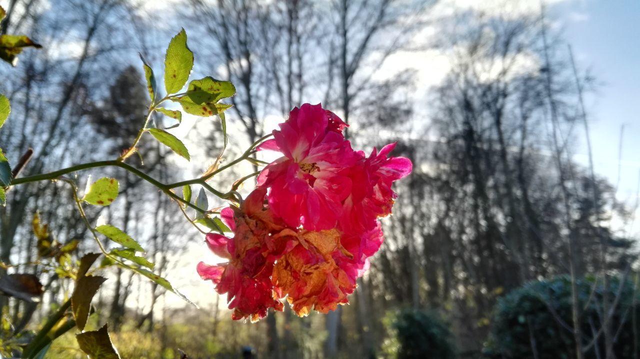 Autumn Herbst Herbststimmung Rambler Rose Beauty In Nature