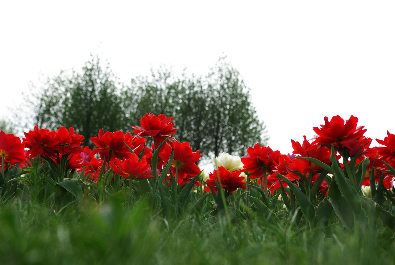 Low Angle View Of White And Red Flowers Blooming On Field