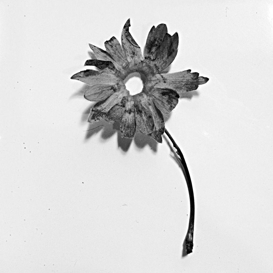 Beautiful stock photos of death, Copy Space, Cut Out, Dead Flower, Dead Plant
