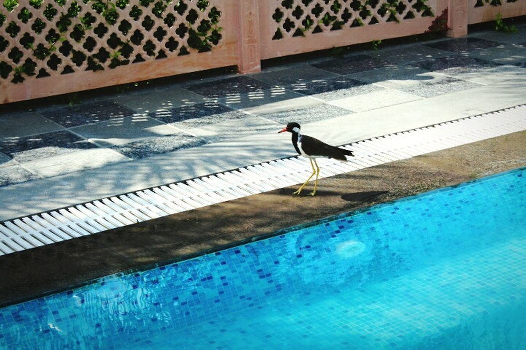 Bird Save Birds Save Planet By The Pool Bird By Water Blue Water Poolside Pool Swimming Pool Nature Photography Eyeemphoto My Point Of View Get Outside Nature India Bird Photography What Who Where Enjoy The New Normal