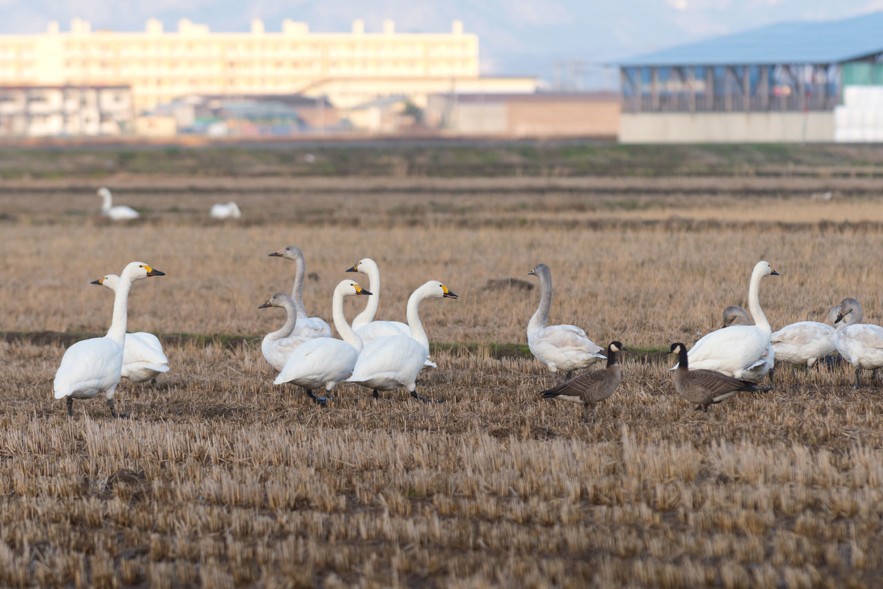 Swans and other birds in a rice paddy in Japan during winter. Animal Themes Animal Wildlife Animals In The Wild Beauty In Nature Bird Birds Birds Of EyeEm  Birds_collection Birds🐦⛅ Day Field Focus On Foreground Japan Japan Photography Large Group Of Animals Nature No People Outdoors Sky Swan Swans Swans Of Eyeem Swans ❤ Tohoku White Color