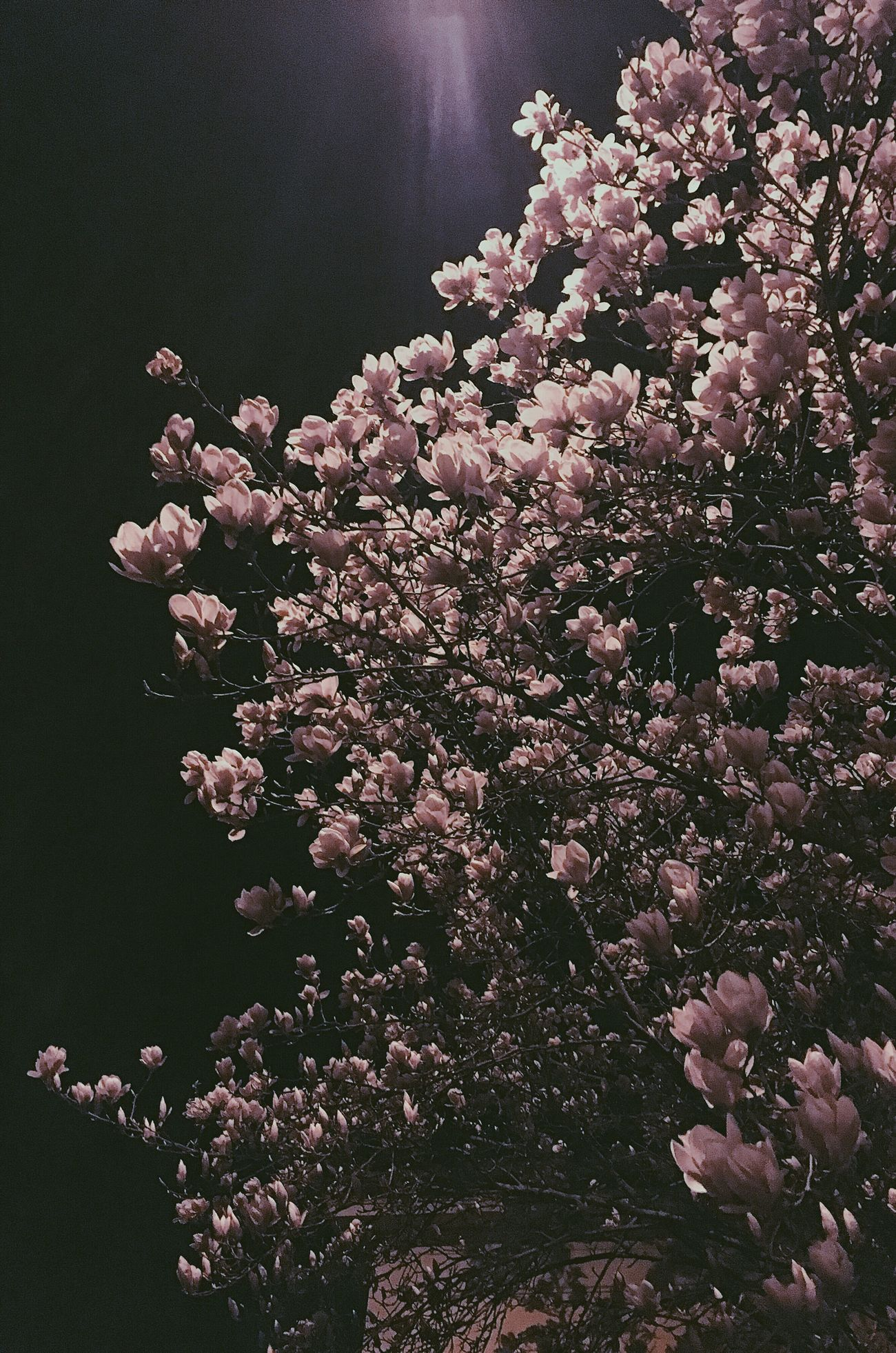 Flower Nature Blossom Tree Petal Springtime Night Outdoors Growth Fragility Beauty Spring Spring Flowers Millennial Pink