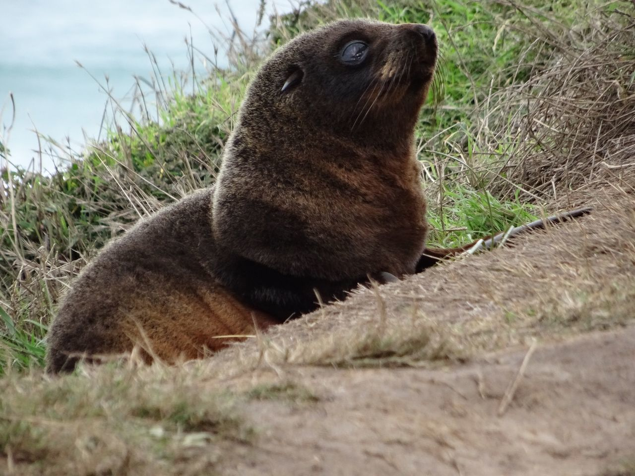 One Animal Animal Themes Mammal Animals In The Wild No People Aquatic Mammal Day Outdoors Close-up Nature Grass Animals Animal Wildlife New Zealand Cute Seal Seals Baby Seal