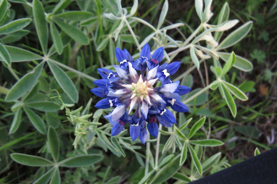 2016 Beauty In Nature Blooming Blue Bluebonnets ,,,  Felony Field Flower Flower Head Focus On Foreground Fragility Freshness Growth High Angle View In Bloom Leaf Petal Plant Pollen Purple Spring Texas State Flower TEXstyle2015