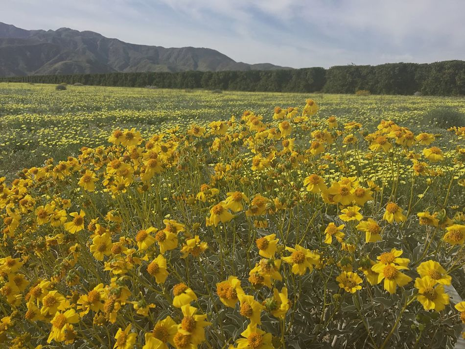 "The wildflower ""Superbloom"" currently underway in Southern California's Anza-Borrego Desert State Park. Shot was taken on March 10, 2017. Anza Borrego Park View Anza Borrego State Park Wildflowers Wildflowers In Bloom Californiadesert Nature Photography Landscape Landscape_Collection Landscape_photography California California Love"