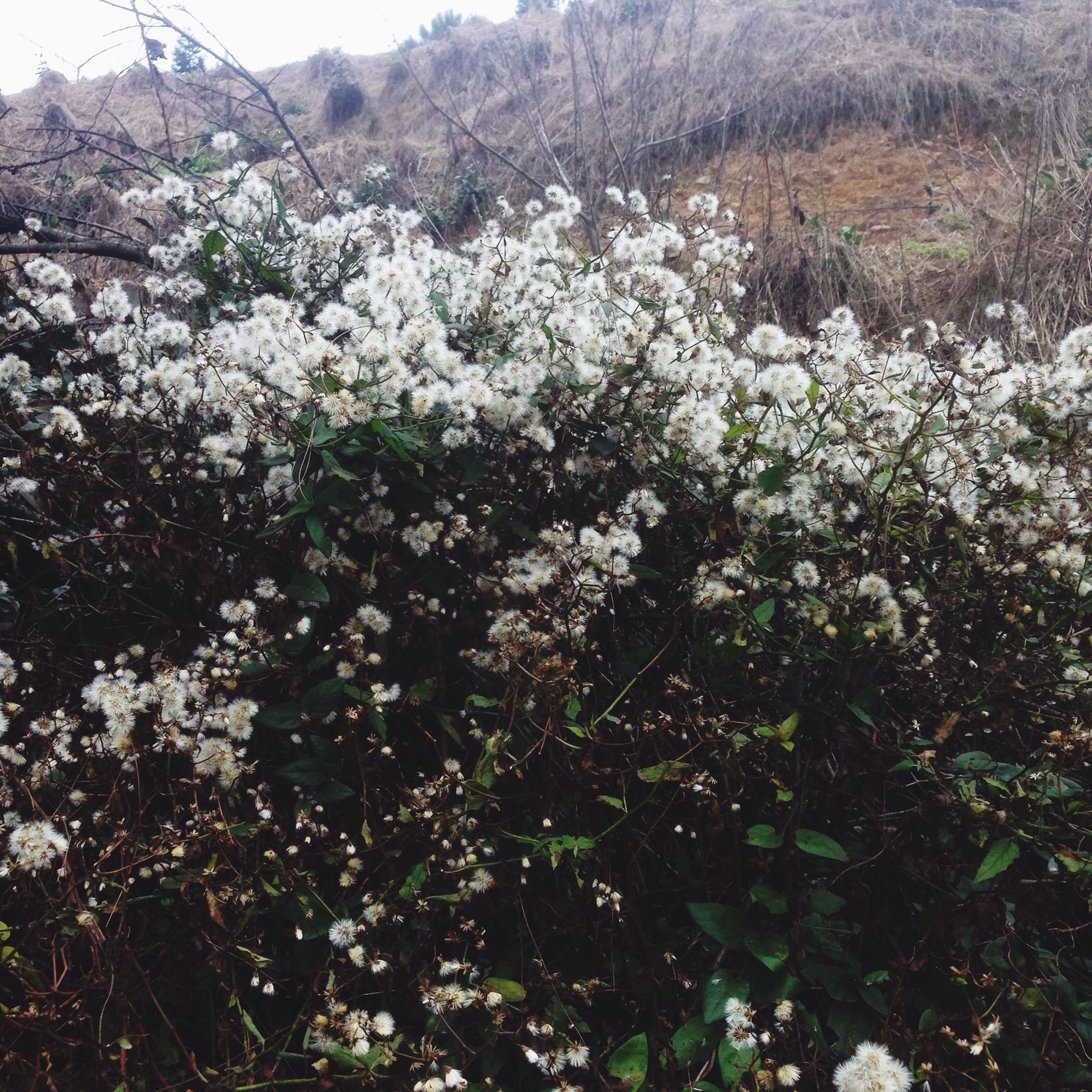 flower, growth, tree, beauty in nature, nature, freshness, tranquility, white color, fragility, tranquil scene, mountain, blooming, plant, field, scenics, day, outdoors, in bloom, blossom, no people
