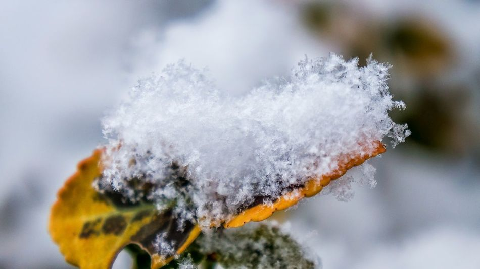 Beautiful stock photos of snowflake, Beauty In Nature, Botany, Close-up, Cold Temperature