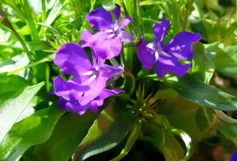 Männertreu  🍃 Light And Shadow Taking Photos Garden Photography Flower Purple Nature Beauty In Nature Plant Petal Leaf Close-up No People Fragility Growth Flower Head Freshness Outdoors Day Blue Color Blue Flowers Spring Flowers Green Color Nature Photography Simple Moments