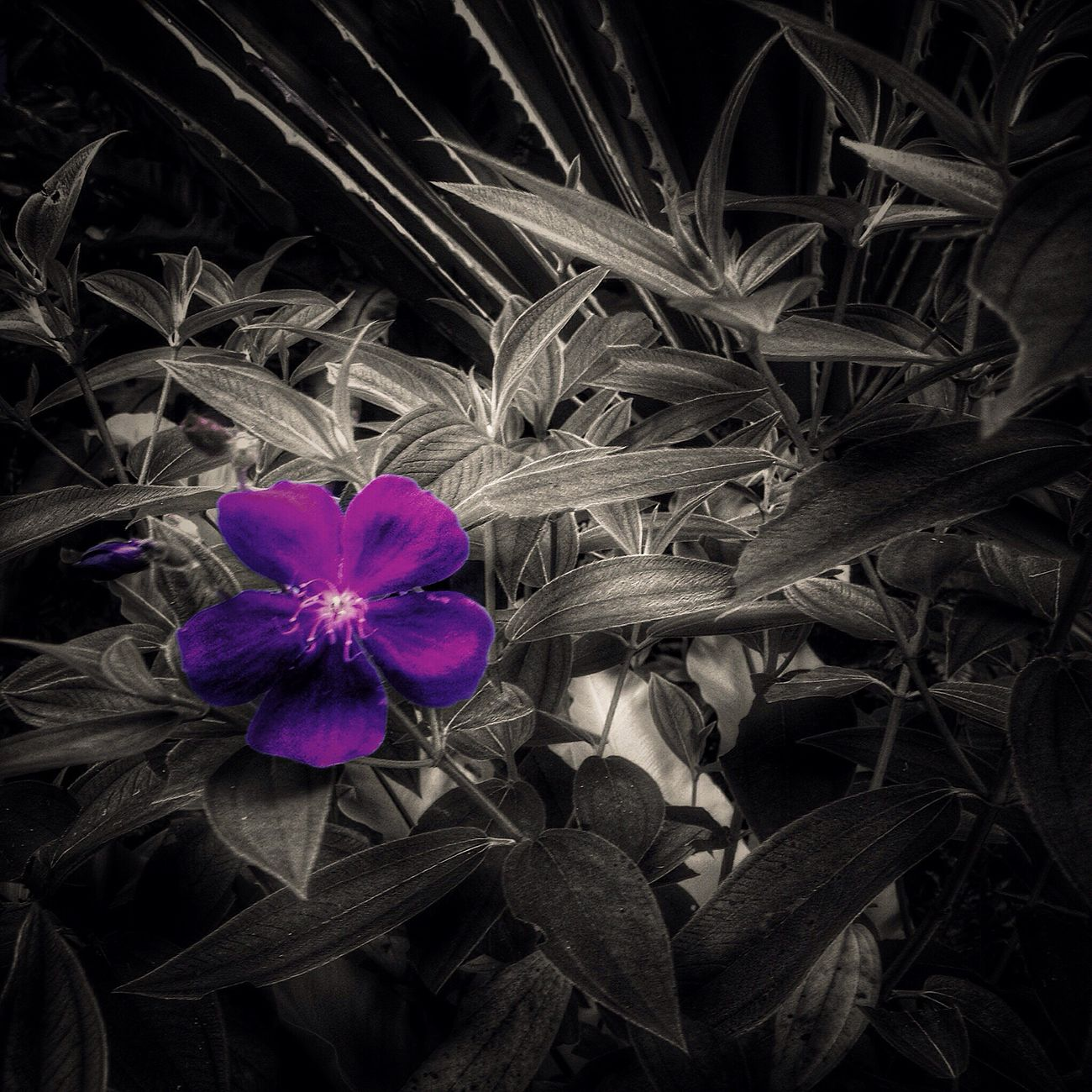 Black And White With A Splash Of Colour Flower Nature Fragility Growth Purple Beauty In Nature Flower Head Freshness Plant No People Close-up Outdoors Day EyeEmNewHere Macro Nature Macro_flower Macro_captures Bnw EyeEm Gallery EyeEmFlower