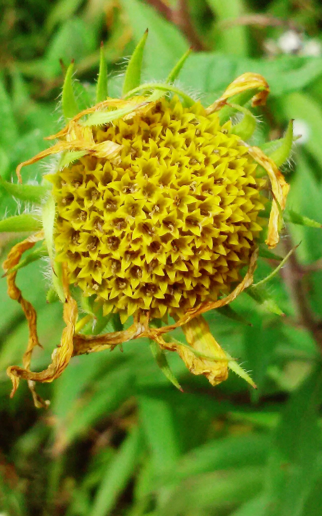 Taking Photos Enjoying Life The Circle Of Life End Of Season  Flower Yellow Flower Dying Early Fall Details Of My Life The Purist (no Edit, No Filter)