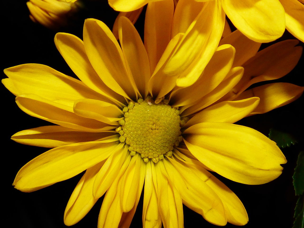 Daisy Love. A beautiful yellow Daisy against a black backdrop commanding all attemtion Beauty In Nature Black Background Cbkelley Photography Close-up Daisy Close Up Daisy Flower Daisy Love Day Flower Flower Head Fragility Freshness Nature No People Outdoors Petal Plant Pollen Yellow EyeEmNewHere