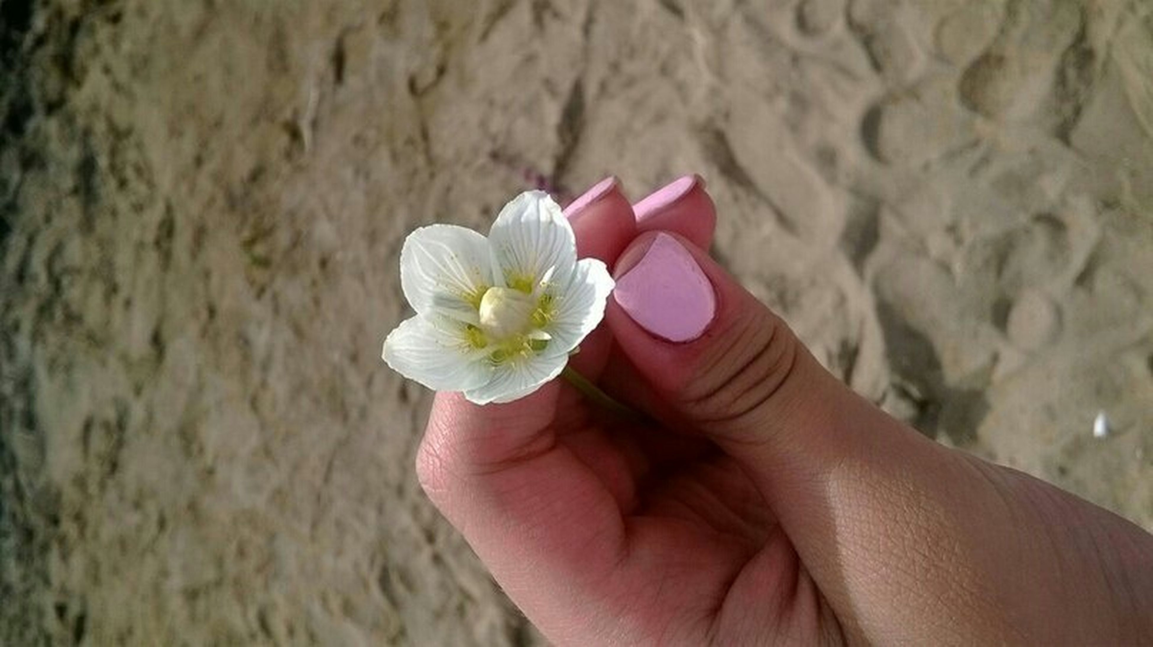 person, holding, part of, flower, human finger, personal perspective, cropped, fragility, close-up, focus on foreground, petal, freshness, unrecognizable person, lifestyles, flower head, leisure activity
