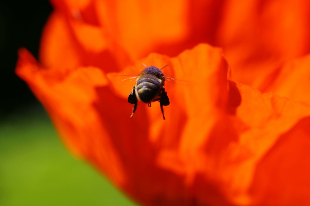 Insect Animals In The Wild One Animal Orange Color Animal Wildlife Animal Themes Red Nature Flower No People Close-up Day Outdoors Plant Beauty In Nature Fragility Bee Buzzing Ladybug Freshness Poopy