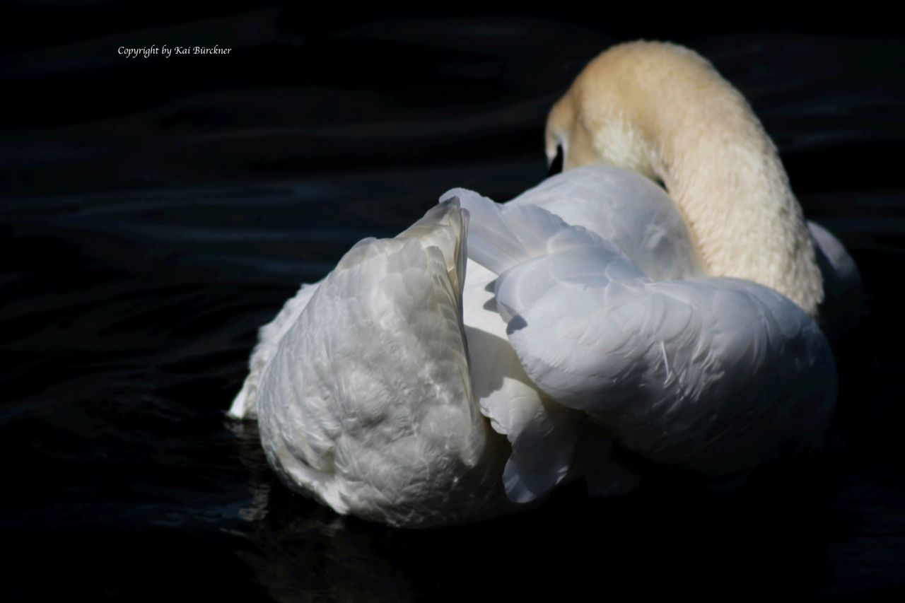 bird, animals in the wild, animal themes, swan, white color, one animal, animal wildlife, preening, lake, no people, water bird, beak, water, close-up, feather, swimming, day, nature, outdoors