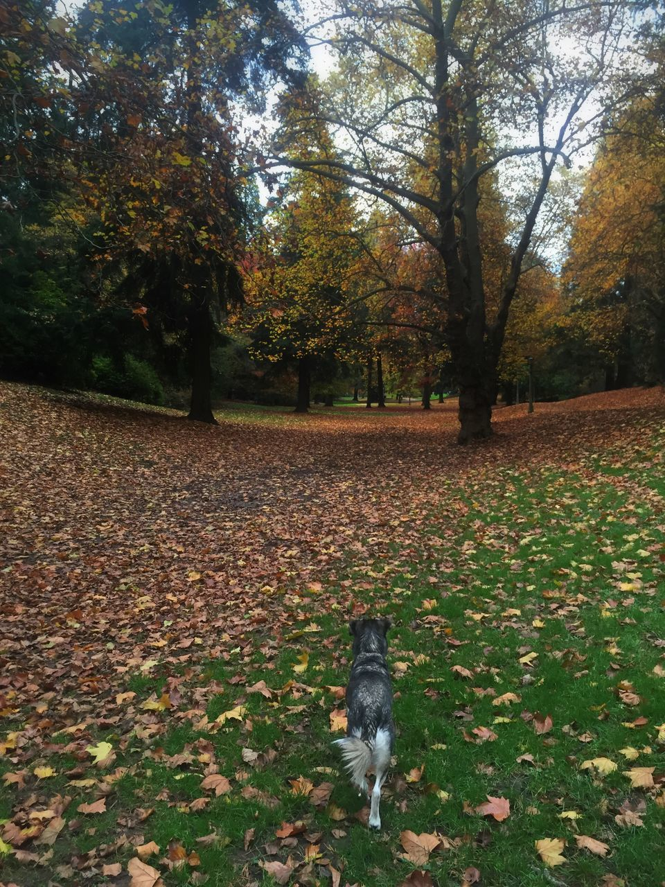 autumn, pets, dog, change, leaf, tree, domestic animals, nature, one animal, animal themes, outdoors, park - man made space, day, no people, beauty in nature, field, mammal, growth