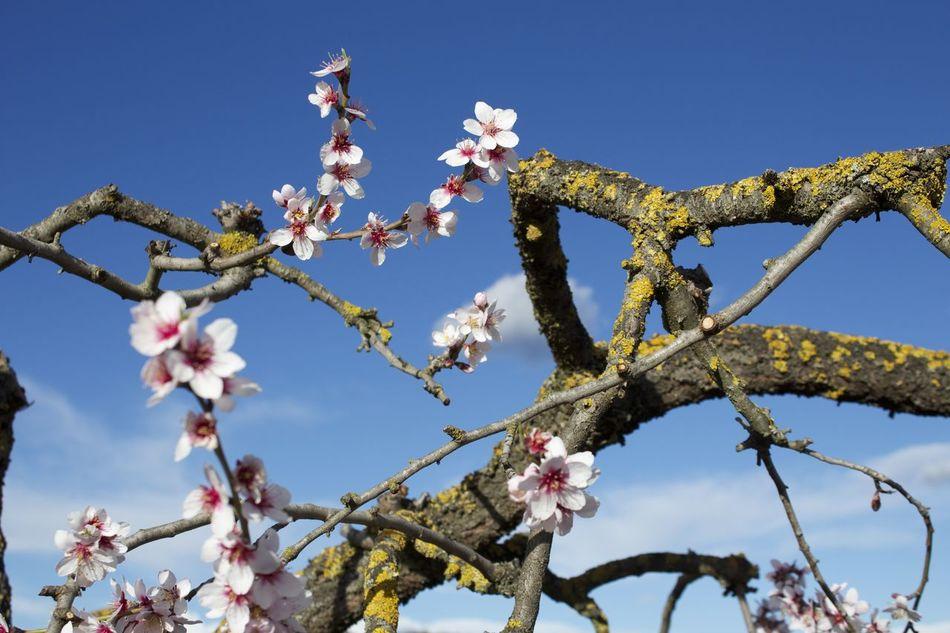 Santa Maria d'Oló. Spring Santa Maria D'Oló Spring Tree Flowers