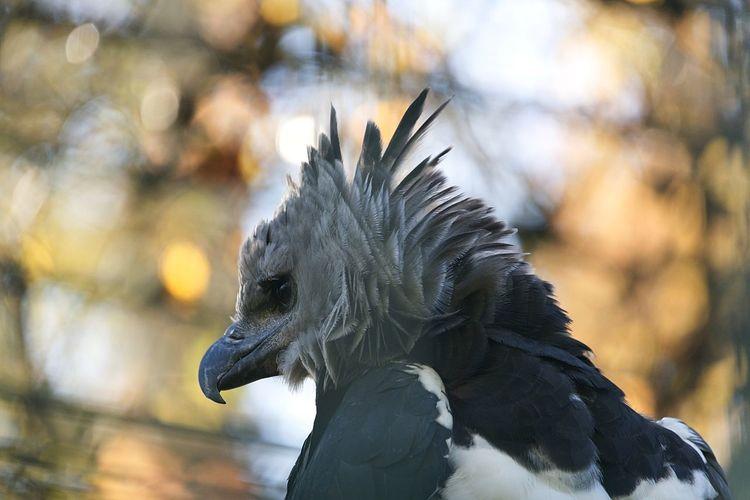 Animals Harpie Bird One Animal Feather  Focus On Foreground Close-up Animal Wildlife Beak