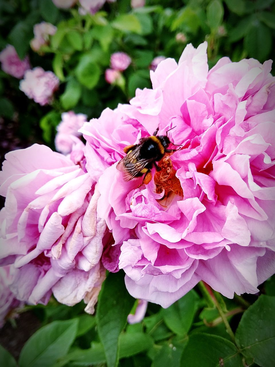 one animal, insect, flower, animals in the wild, animal themes, petal, animal wildlife, nature, growth, fragility, bee, beauty in nature, freshness, plant, wildlife, outdoors, day, pollination, honey bee, pink color, no people, bumblebee, flower head, close-up