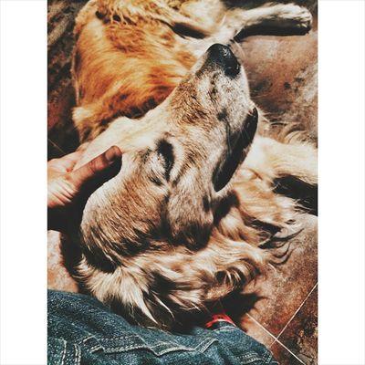 Photogrid Dog Golden Preto doglover