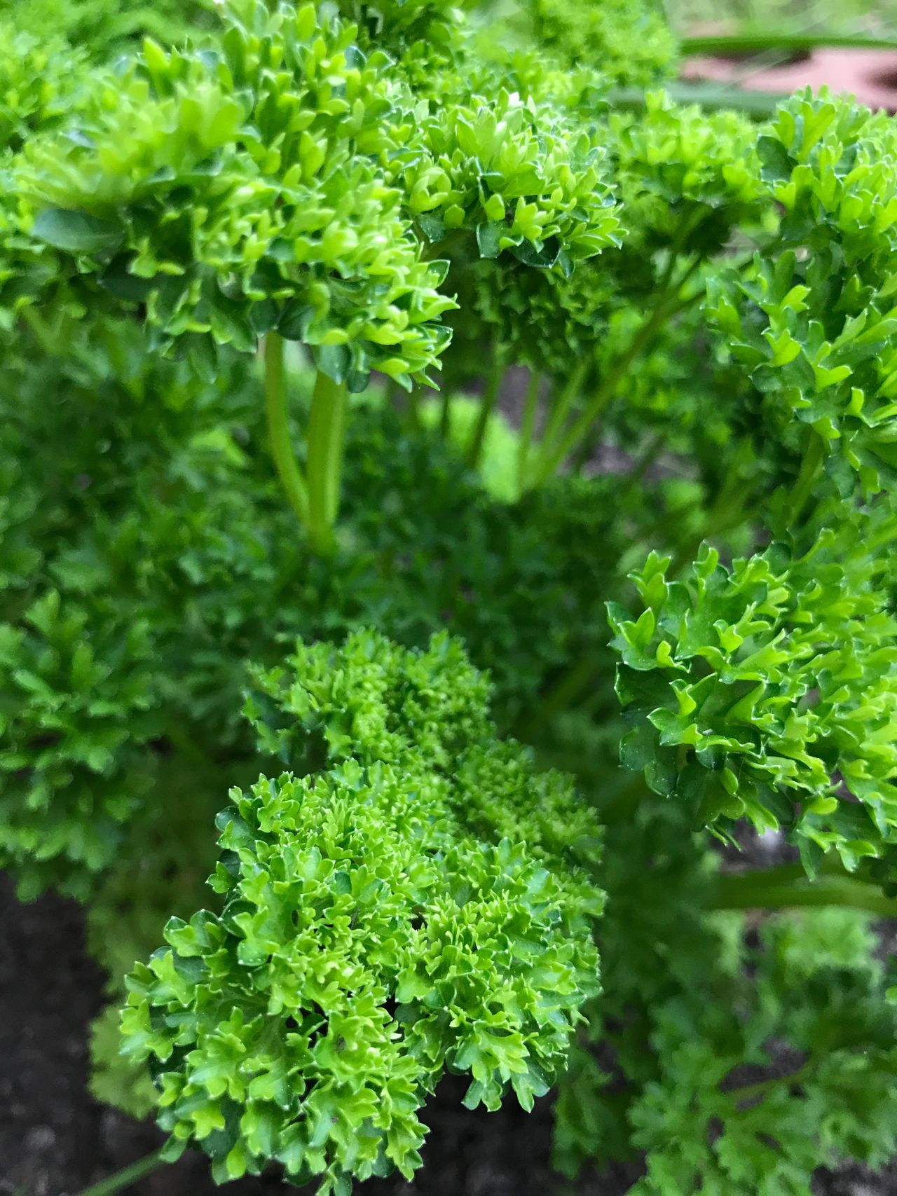 Green Plant Herbal Parsley No People Beauty In Nature Leaves