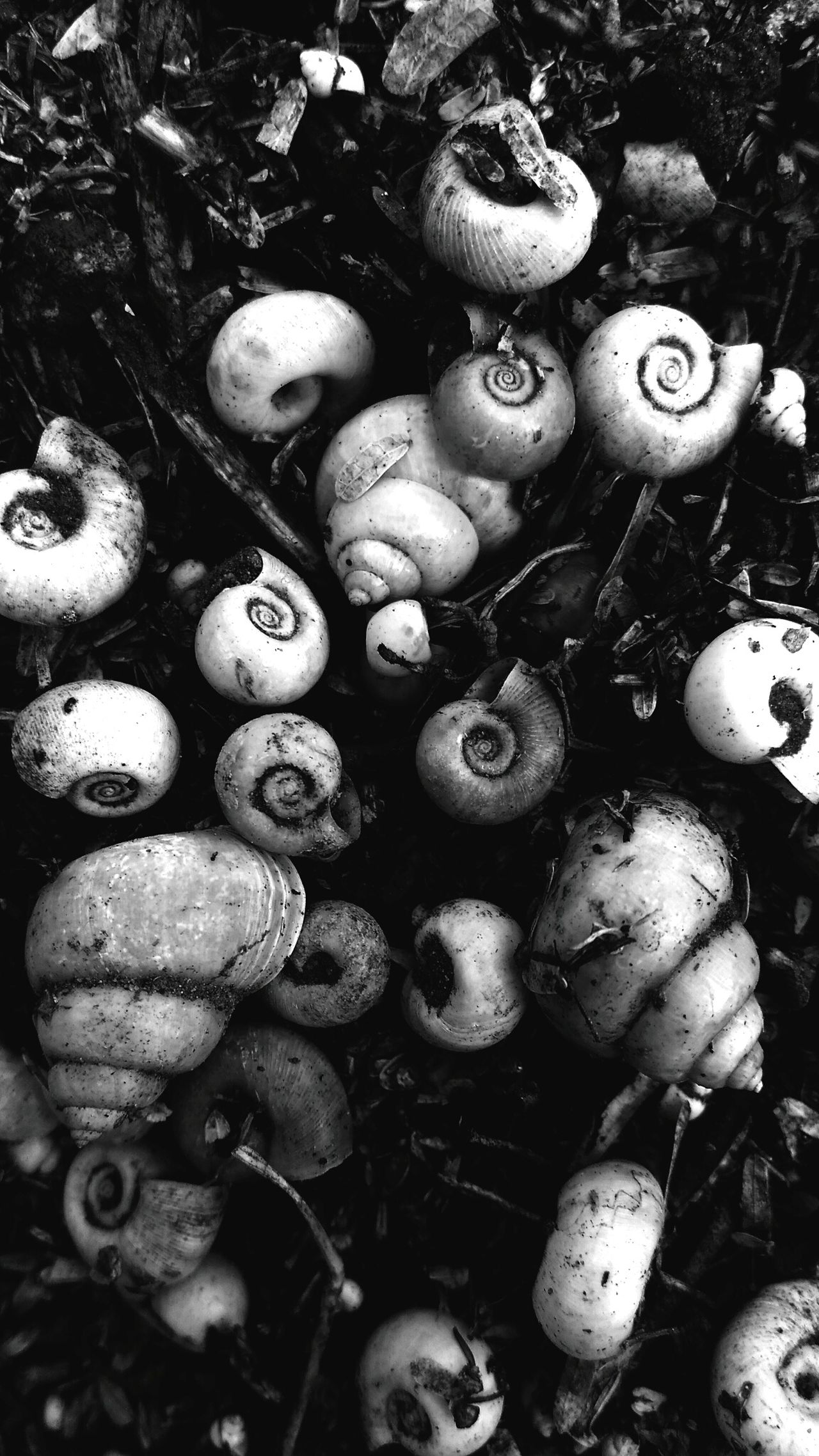 Black And White Bnw Bnw_friday_eyeemchallenge Bnw_collection Bnw_captures Bnw_society Bnw_magazine Conceptualphotography Snail Photography Snail Shells Dead Death
