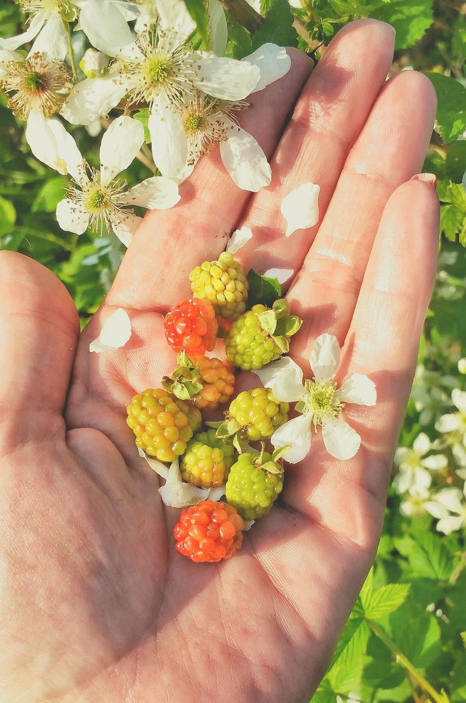 Human Hand Holding Food Freshness Healthy Eating People Palm Close-up Leisure Activity Nature Outdoors Beauty In Nature Wild Blackberries Dew Berries Blackberry Backgrounds High Angle View Room For Text Room For Copy Unripe Fruit Freshness Multi Colored Variation Berry Fruit