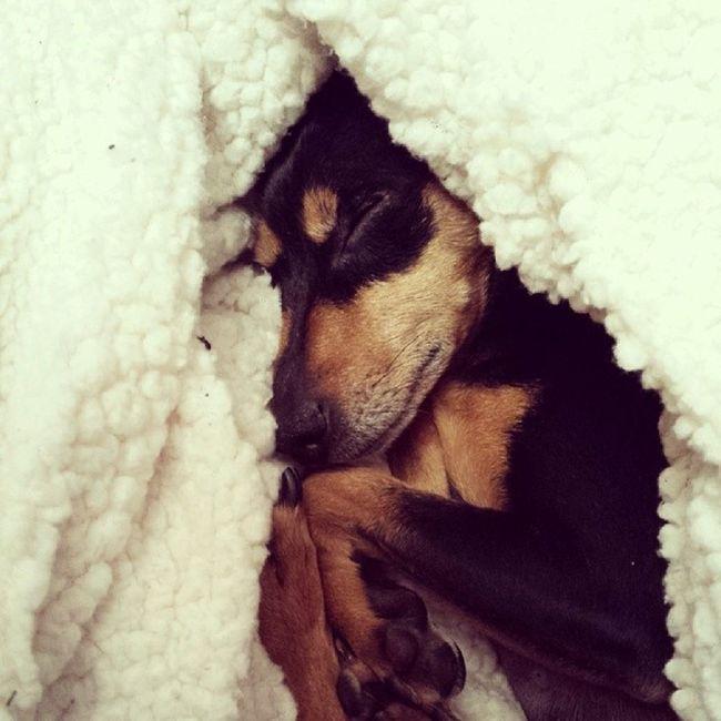 Minipinscher Minipincher Minipin Zwergpinscher Pincher Pinscher Cute Dog Instadog Audrey Dogoftheday Instadog Happy Goodnight Puppy Pet