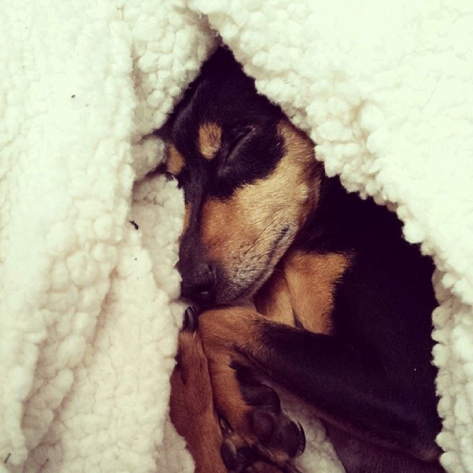 Minipinscher Minipincher Minipin Zwergpinscher Pincher Pinscher Cute Dog Instadog Audrey Dogoftheday Instadog Happy Goodnight Puppy Pet