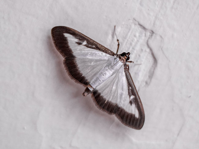 Ameles Heldreichi Animal Animals In The Wild Autumn Beauty In Nature Butterfly Butterfly - Insect Crimea Cydalima Perspectalis Entomology Insect Macro Moth Nature No People One Animal Sevastopol  White Wildlife Zoology