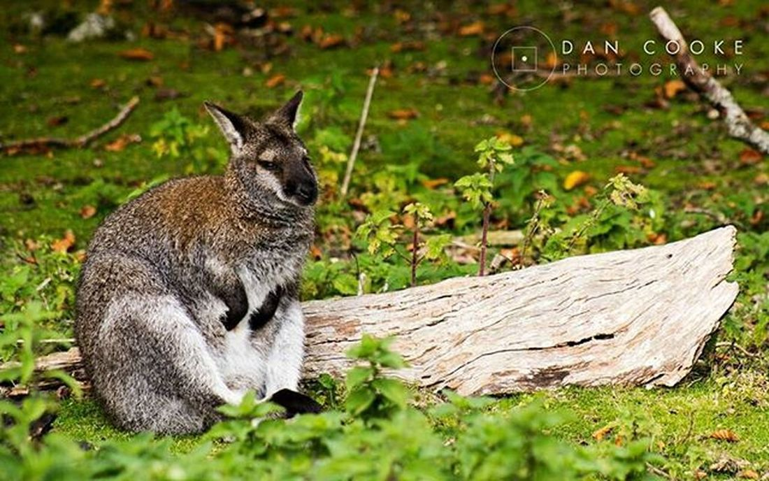 Chillin' Wallaby Longleatsafaripark Autumnday Wildlife @longleatofficial