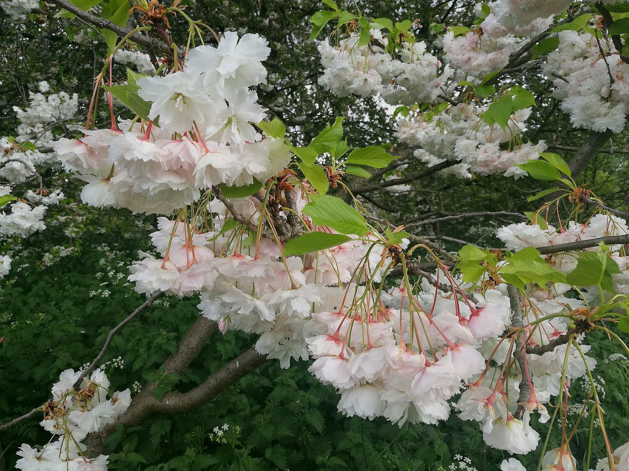 flower, growth, blossom, nature, white color, fragility, beauty in nature, spring, no people, plant, freshness, blooming, outdoors, day, tree, flower head, close-up