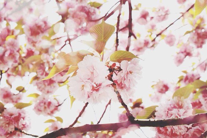 Cherry blossom Cherry Blossom Flowers Pink Nature
