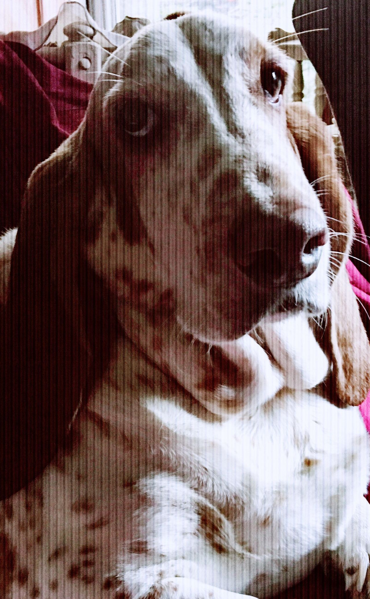 Are we going out yet? Close-up Indoors  No People Comfy And Cozy Poser ❤ Comfortable Looking At Camera Portrait Pampered Pets Snapwagdogs Sniffandbarkens Ilovemybassethound Iphonephotography Bassethound Moments Bassethoundadventures Bassethoundsare Best