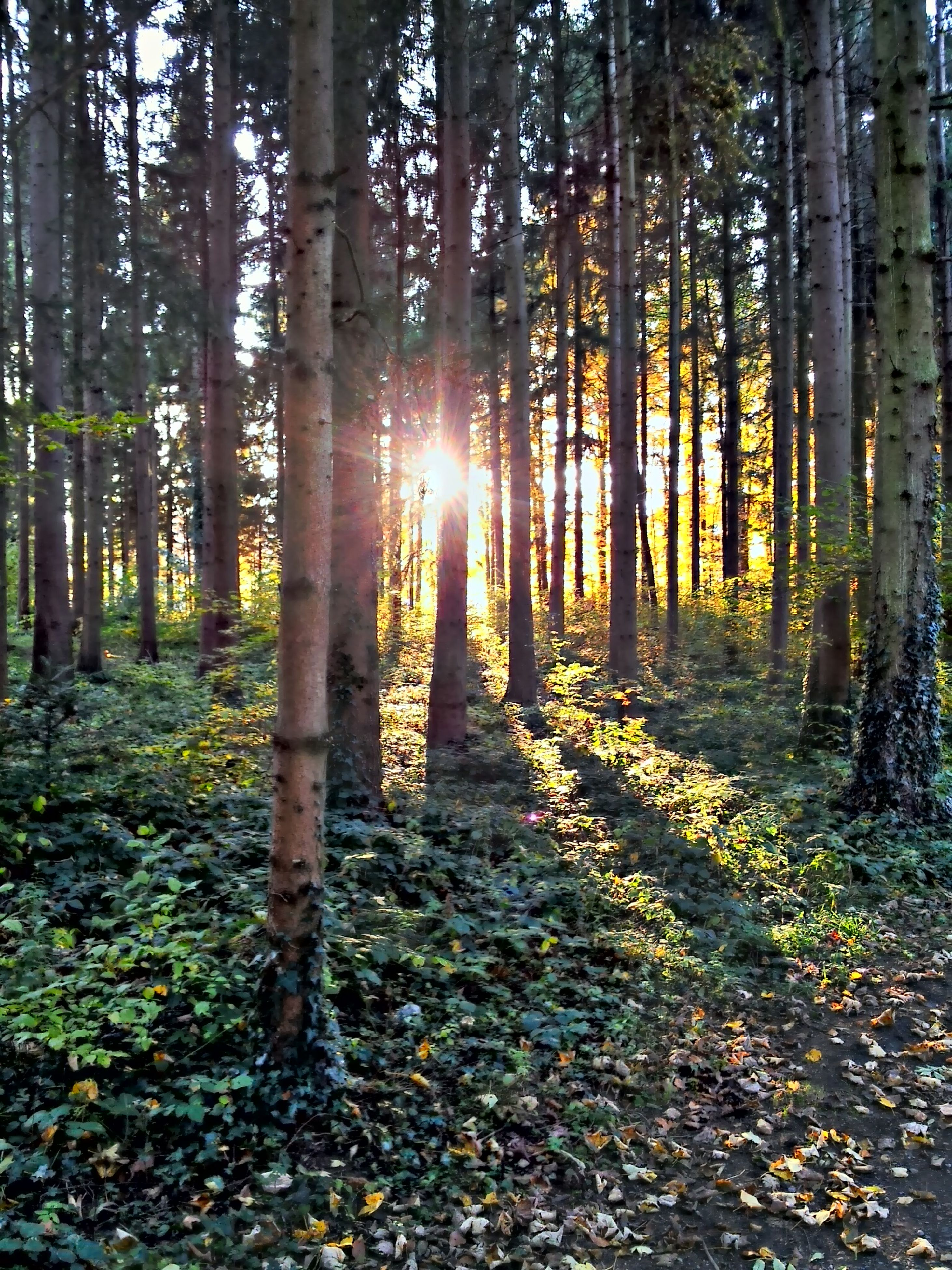 tree, forest, tranquility, woodland, tree trunk, sun, tranquil scene, sunlight, sunbeam, nature, beauty in nature, scenics, growth, lens flare, landscape, non-urban scene, back lit, abundance, no people, outdoors