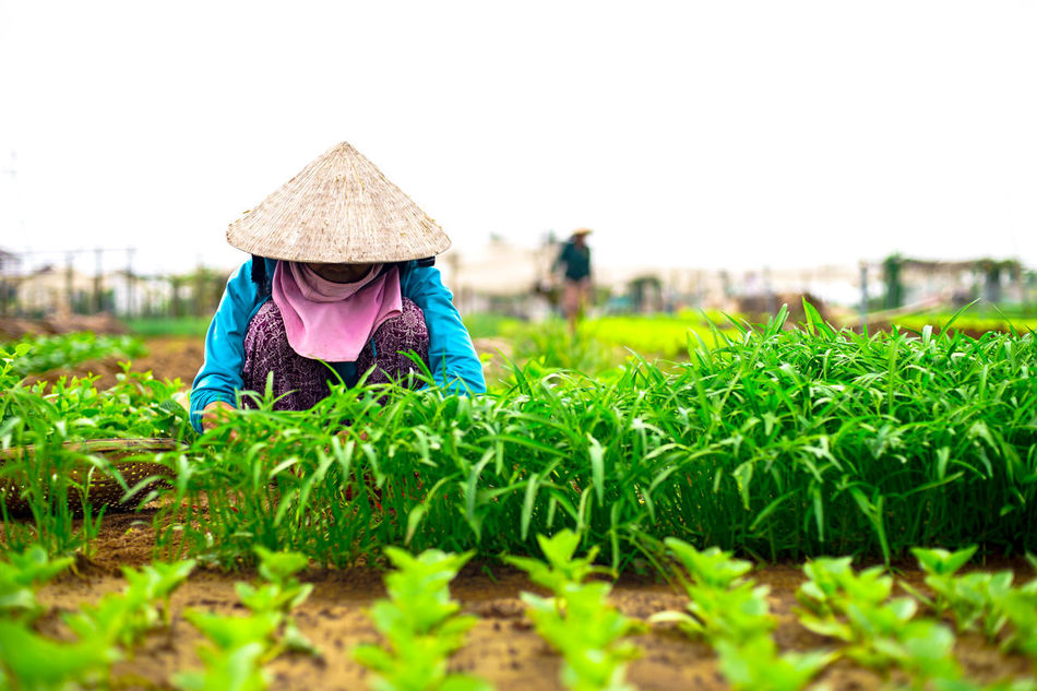 Agriculture Beauty In Nature Day Farmer Field Grass Green Color Growth Hat Nature Non La One Person Outdoors People Plant Rural Scene Vietnam Women Working