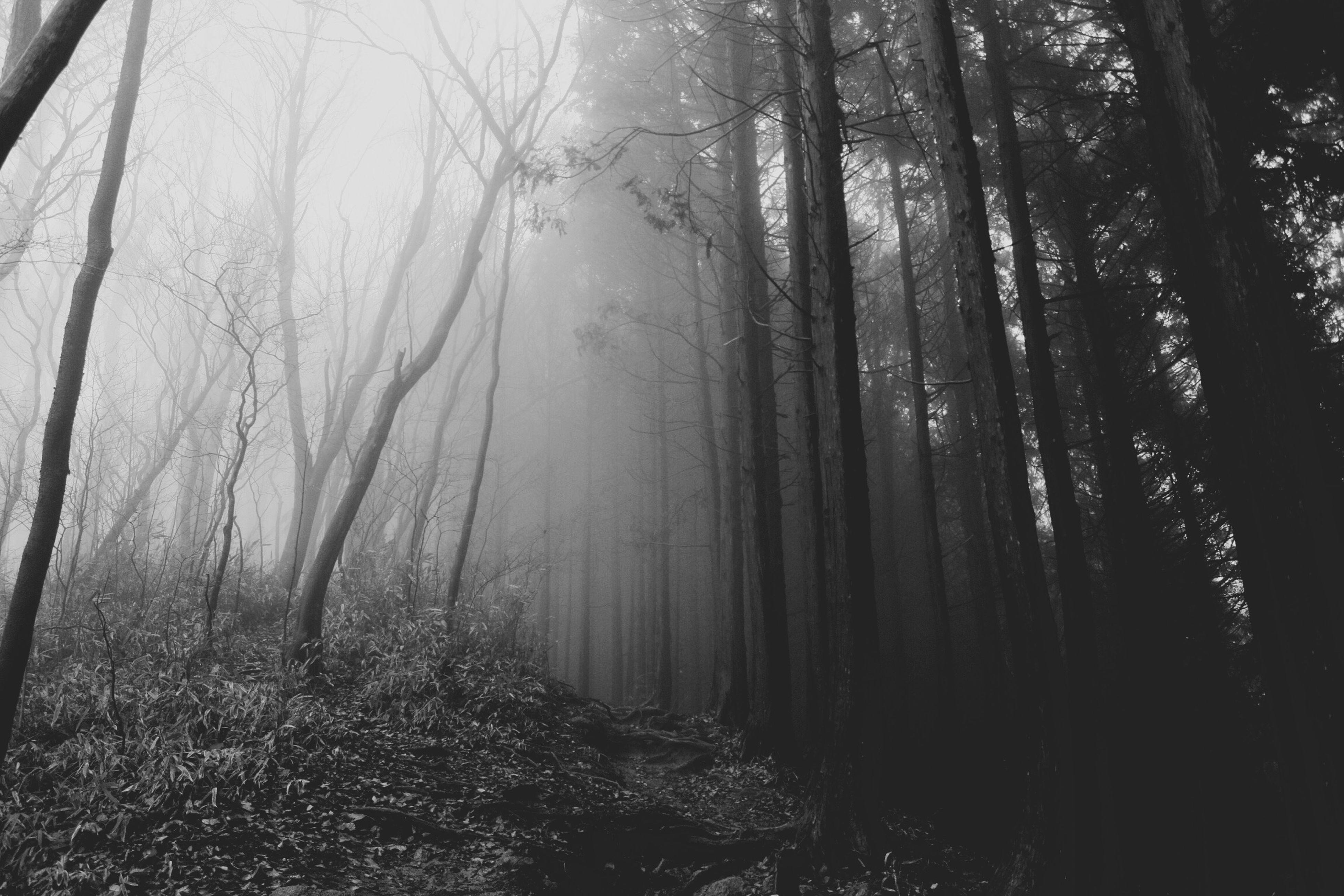tree, forest, tree trunk, woodland, tranquility, tranquil scene, nature, growth, the way forward, beauty in nature, scenics, branch, fog, non-urban scene, day, outdoors, landscape, no people, sunlight, woods