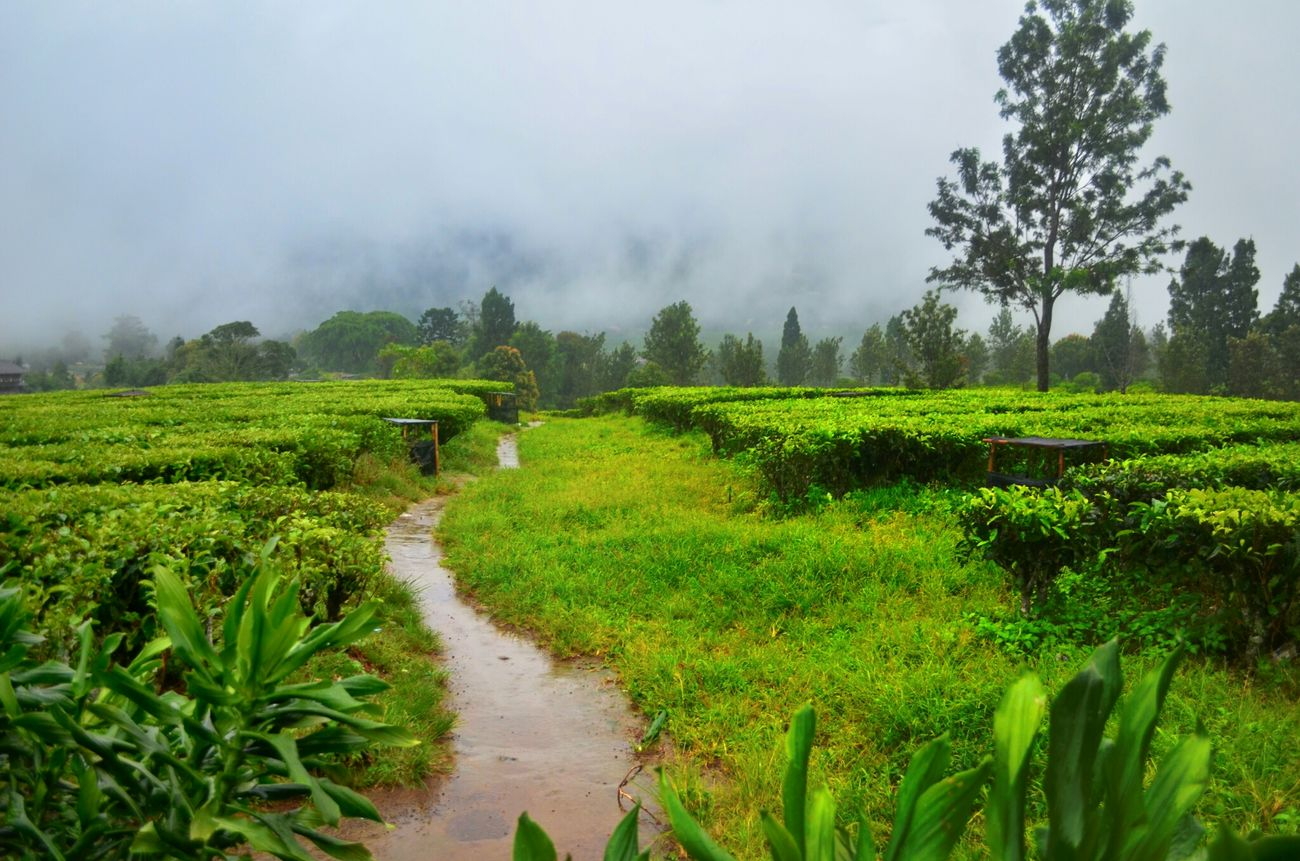 مزرعة الشاي اندونيسيا صوري رحله تايم Hi!