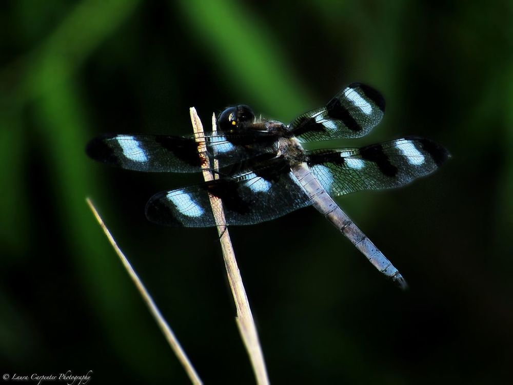 Dragonfly with Beautiful Black and White Wings Spread Perched on a Cattail Dragonfly Green Color Animal Themes Animal Wildlife Animals In The Wild Close-up Day Focus On Foreground Full Length Insect Insect Love Insect Photography Nature No People One Animal Outdoors Wings Spread Wingspan