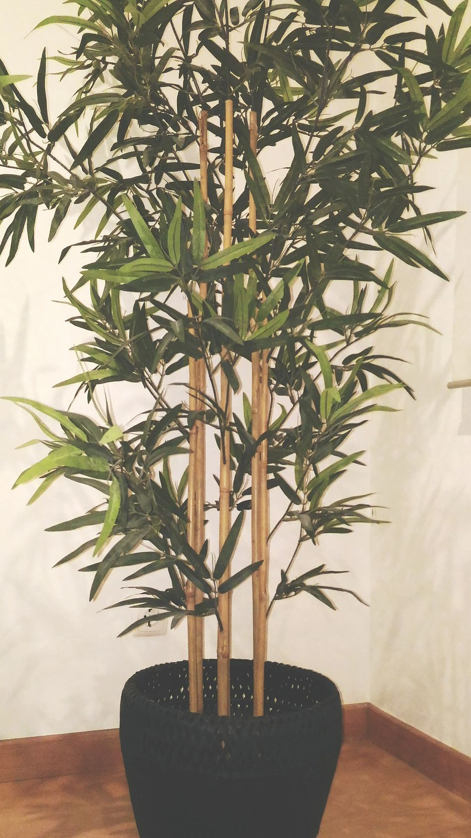 Plant Potted Plant Growth Houseplant Indoors  Home Interior Olive Tree Table Single Tree No People Interior Style White Wall White Background Black Potted Green Plant Bamboo Interior Decorating