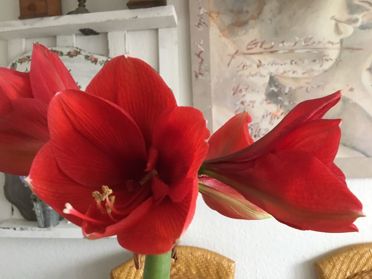 Amaryllis Blume Flower EyeEmFlower Red Petal Flower Head Nature Beauty In Nature Freshness Fragility Close-up Growth Plant No People Day Blooming Outdoors Maroon EyeEm Nature Lover