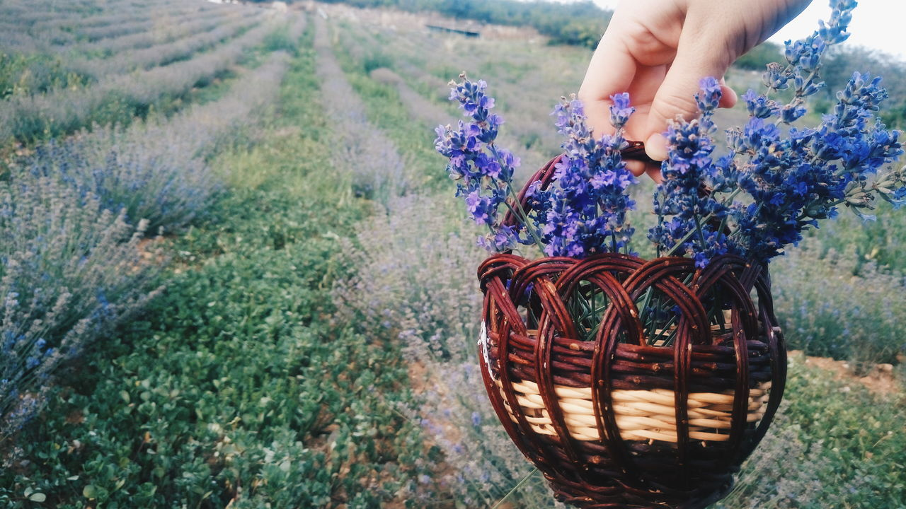 basket, flower, nature, one person, field, outdoors, beauty in nature, day, lavender, real people, plant, human hand, human body part, freshness, people