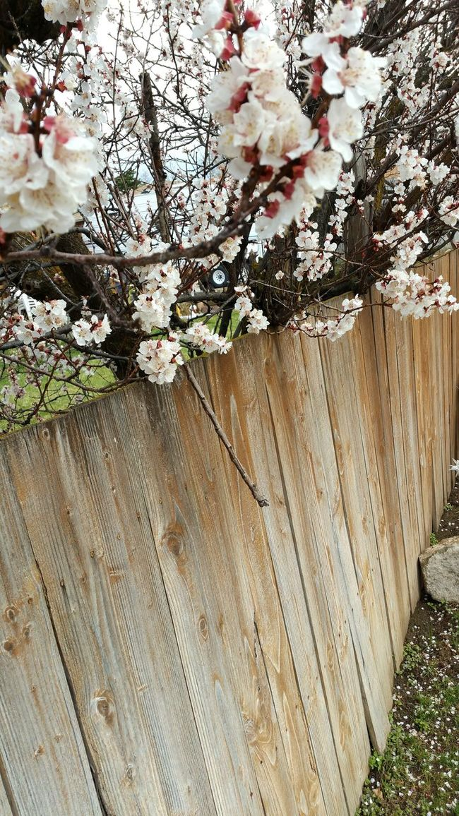 Blossoms  Apricot Blossoms Tree Nature Spring Fence Outdoors Sky Flowers