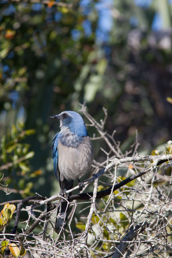 Animal Themes Animal Wildlife Animals In The Wild Aphelocoma Coerulescens Beauty In Nature Beauty In Nature Bird Bird Photography Blue Bird Florida Florida Nature Florida Scrub-Jay Nature Nature Photography No People One Animal Rare Birds Wildlife & Nature Wildlife Photography