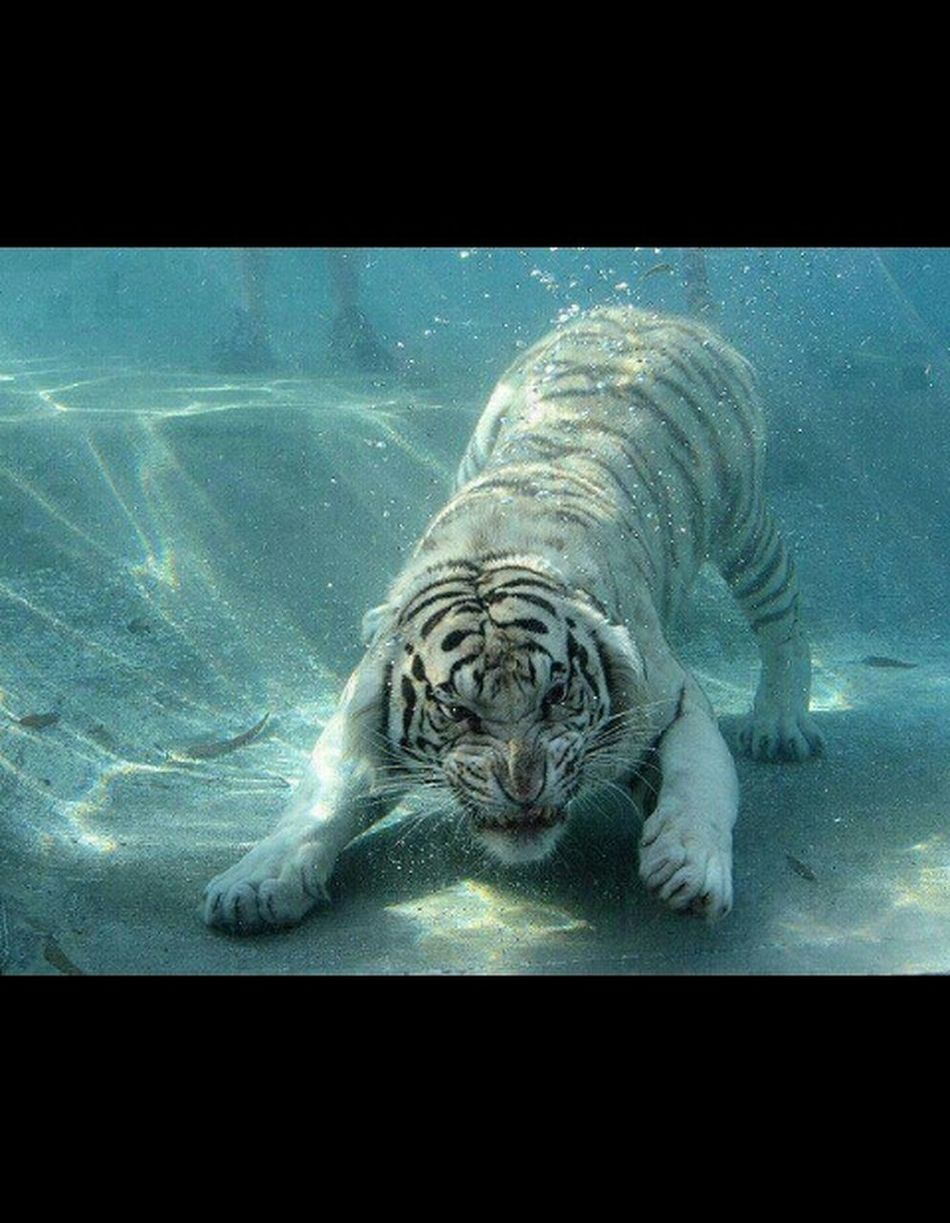 the Royal Bengle Tiger in underwater.