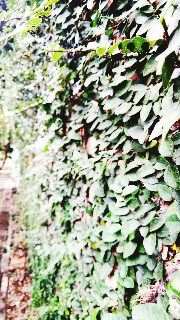 growth, plant, ivy, green color, nature, day, outdoors, leaf, no people, close-up